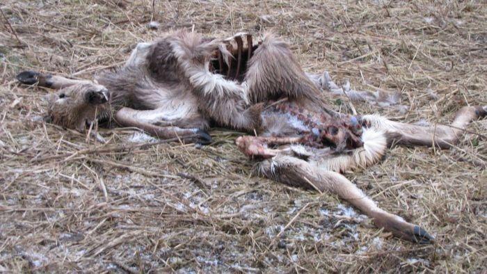 Verhongered hert in de Oostvaardersplassen