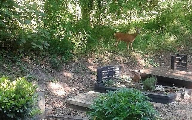 Reegeit met kalf op begraafplaats